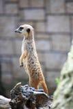 突出在卫兵的动物预警meerkat 图库摄影