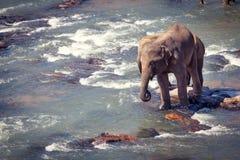突出在小的岩石的二头大象,当沐浴时 免版税库存图片