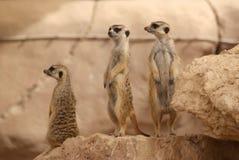 突出在岩石的Meerkats 免版税图库摄影