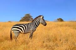 突出在徒步旅行队注意的草的斑马 免版税库存图片