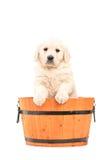 突出在桶的逗人喜爱的猎犬小狗 免版税库存照片