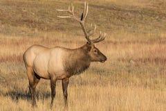 突出在草甸的公牛麋 免版税图库摄影