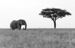 突出在金合欢结构树旁边的大象 库存图片