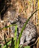 突出在长的草的捕鱼猫 库存图片