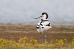 突出在水中的长嘴上弯的长脚鸟 库存照片