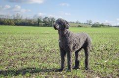 突出灰色标准的长卷毛狗预警 免版税库存照片