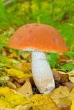 突出白杨木背景牛肝菌蕈类盖帽特写镜头充分蘑菇一个橙色的照片空白 库存图片