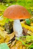 突出白杨木背景牛肝菌蕈类盖帽特写镜头充分蘑菇一个橙色的照片空白 图库摄影