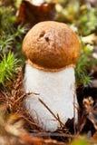 突出白杨木背景牛肝菌蕈类盖帽特写镜头充分蘑菇一个橙色的照片空白 免版税库存照片