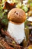 突出白杨木背景牛肝菌蕈类盖帽特写镜头充分蘑菇一个橙色的照片空白 免版税图库摄影