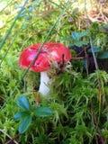 突出白杨木背景牛肝菌蕈类盖帽特写镜头充分蘑菇一个橙色的照片空白 免版税库存图片