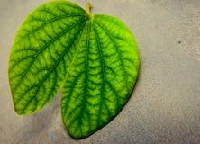 突出的静脉绿色叶子 免版税库存照片