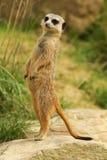 突出的meerkat挺直 免版税库存照片