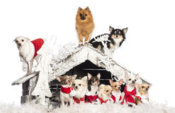 突出组的奇瓦瓦狗坐和 免版税库存图片