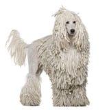 突出被捆绑的长卷毛狗的标准空白 免版税库存图片