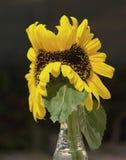 突变体双重黄色向日葵静物画 免版税库存照片