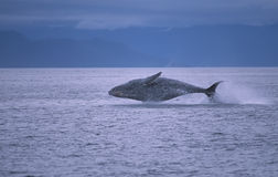突破口鲸鱼 库存照片