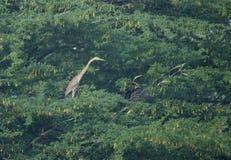 突进者和一只紫色苍鹭在树栖息 库存图片