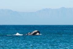 突破口鲸鱼 库存图片