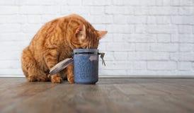 窃取从食盒的姜猫食物 免版税图库摄影