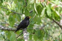 窃取在树的黑鹂樱桃 图库摄影