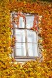 窗口和波士顿常春藤 免版税库存照片