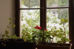 从窗口的看法与天竺葵到春天庭院里 免版税库存照片