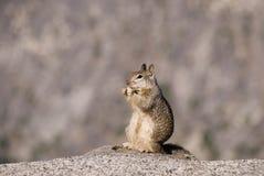 直立和吃花生的加利福尼亚地松鼠 免版税库存照片