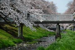 立川市樱花 免版税库存图片