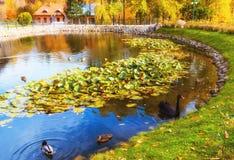 立陶宛,维尔纽斯Belmontas, 2017年 10 19有鸭子和一只美丽的黑鹅的,在Belmon的美好的秋天天小池塘 免版税库存图片