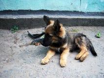 竖起耳朵的小狗 免版税图库摄影