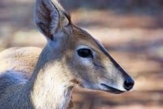 直站在森林里的小羚羊 免版税库存照片