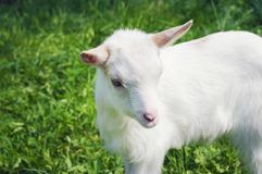 站立一只小白色幼小的山羊斜向 库存图片