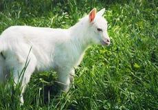 站立一只小白色幼小的山羊斜向 免版税库存图片