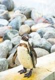 站立一只的企鹅前面 免版税库存照片