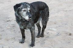 站立一条资深的狗湿在沙子在游泳以后 免版税库存照片