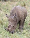 站立一头白色的犀牛的特写镜头frontview吃草 库存图片