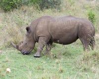 站立一头白色的犀牛的特写镜头sideview吃草 免版税图库摄影