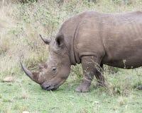 站立一头白色的犀牛的特写镜头sideview吃草 免版税库存照片