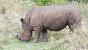 站立一头白色的犀牛的特写镜头sideview吃草 库存图片