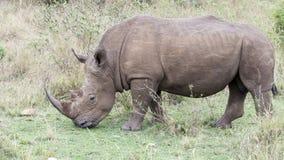 站立一头白色的犀牛的特写镜头sideview吃草 图库摄影