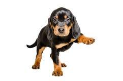 站立与一个被举的爪子的小狗品种斯洛伐克的猎犬 免版税库存照片