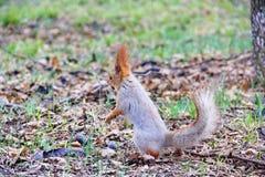 站立与在嘴的坚果的灰鼠 库存图片