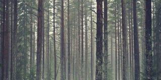 站立与好的光和太阳一起的杉树 有雾的情况 免版税图库摄影