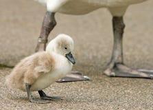 站立与妈咪腿的一只小小天鹅小天鹅在背景中 免版税库存图片