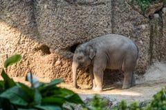 站立与它树干垂悬的年轻婴孩大象 库存图片