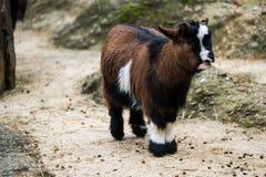 站立与它的嘴的幼小和小山羊开放 库存图片