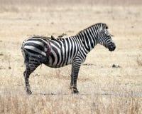 站立与砍得恨深的伤口边和两只鸟的一匹斑马在后面在Ngorongoro火山口 免版税库存图片