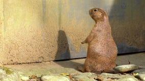 站立俘虏black-tailed的草原土拨鼠挺直和看的慢动作 影视素材