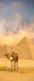 站立前面埃及金字塔的五颜六色的日落骆驼 图库摄影